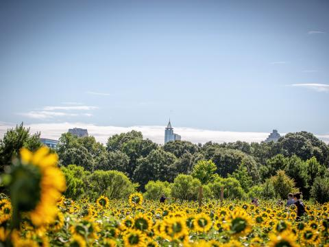Sunflowers in Dorothea Dix Park in Raleigh, North Carolina